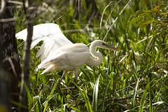 Great White Heron (vguzman1120) Tags: greatwhiteheron bird birds wildbirds nature naturephotography everglades florida swamp nikon d500 nikkor