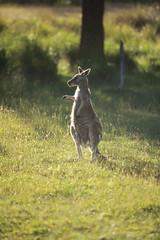 It's over there (iorus and bela) Tags: grampians victoria australia australie camping roadtrip iorus bela 2019 december kangaroo emoe trees
