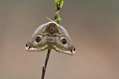 D71_6998A (vkalivoda) Tags: matináč saturnia moth pavoniella nachtpfauenauge emperor martináčpodobný saturniapavoniella southernemperormoth südlichekleinenachtpfauenauge smallemperormoth ligurischesnachtpfauenauge paondenuitaustral polilladesedadelemperadordelsur