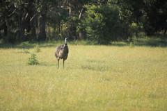 What do you want? (iorus and bela) Tags: grampians victoria australia australie camping roadtrip iorus bela 2019 december kangaroo emoe trees