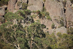 And landing in a busy tree (iorus and bela) Tags: grampians victoria australia australie camping roadtrip iorus bela 2019 december kangaroo emoe trees
