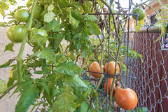 Ripe Winter Tomatoes in Our Garden (SCSQ4) Tags: harvest harvesttime home homegarden homegrown homegrowntomatoes momsgarden ripe sidegarden tomatobush tomatoplant tomatoes veggiegarden wintertomatoes