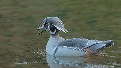 Wood Duck (HH) (Hammerchewer) Tags: woodduck drake wildlife leucistic outdoor