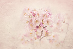 Cherry Blossom (Jacky Parker Photography) Tags: cherryblossom blossom springtime springflowering springgarden flowers freshness fragility beautyinnature closeup selectivefocus textured floralart flowerphotography nikond750 uk
