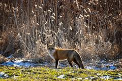 Fox (jwfuqua-photography) Tags: fox wildlife nature newbritain jwfuquaphotography jerrywfuqua pennsylvania buckscountyparks buckscounty peacevalleynaturecenter