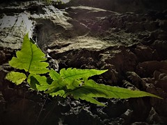 The fern (SM Tham) Tags: asia southeastasia malaysia perak ipoh tambun thelostworldoftambun limestonehills karst geologicalformations fern plant spores rock cliff