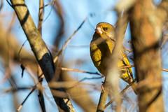 Grönfink. (Anders Öquist) Tags: fåglar grönfink solna uppland sverige
