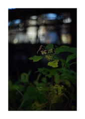 This work is 1/18 works taken on 2019/12/27 (shin ikegami) Tags: sony ilce7m2 a7ii sonycamera 50mm lomography lomoartlens newjupiter3 tokyo 単焦点 iso800 ndfilter light shadow 自然 nature naturephotography 玉ボケ bokeh depthoffield art artphotography japan earth asia portrait portraitphotography