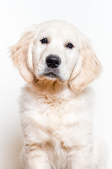 Finn in Studio - 16 weeks-26 (Heather Ogg Photography) Tags: dogs goldenretriever puppy