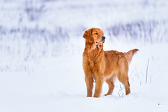 Golden (Sony FE 200-600G OSS Review) (Thousand Word Images by Dustin Abbott) Tags: sonyalpha9 action ilce9 winter a9 sony sonya9 mirrorless goldenretriever snow dustinabbott dustinabbottnet thousandwordimages fullframe sonyfe200600mmf5663goss pembroke dog ontario canada photography 2019 petawawa photodujour