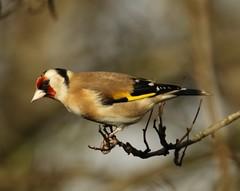 Goldfinch (Carduelis carduelis) (Rezamink) Tags: goldfinch cardueliscarduelis birds uk