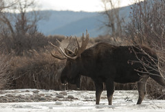 Bull Moose Getting an Ice Cold Drink - 9378Rb+ (PhotoJenics by Jen Hall) Tags: bull moose bullmoose mooseinwater colddrinkofwater icycoldwater jenniferhall jenhall jenhallphotography jenonsafari photojenicsphotography wild nikon photography wildlife wildlifephotography nature naturephotography winter winterscene wintermoose antlers winterphotography westernwildlife cold icy moosemonday