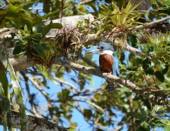 Male Ringed Kingfisher in Caño Negro Wildlife Refuge (Frame To Frame - Bob and Jean) Tags: caño negro wildlife refuge costa rica central america birding birds wilderness river wetland wetlands frio outdoors original photographer male ringed kingfisher