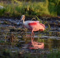 Roseate Spoonbill in Caño Negro Wildlife Refuge (Frame To Frame - Bob and Jean) Tags: caño negro wildlife refuge costa rica central america birding birds wilderness river wetland wetlands frio outdoors original photographer roseate spoonbill