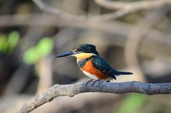 American Pygmy Kingfisher in Caño Negro Wildlife Refuge (Frame To Frame - Bob and Jean) Tags: caño negro wildlife refuge costa rica central america birding birds wilderness river wetland wetlands frio outdoors original photographer kingfisher american pygmy