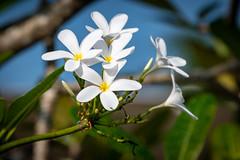 India - Kerala - Flower - 4566 (Peter Goll thx for +14.000.000 views) Tags: makro macro d850 nikond850 nikon indien kerala blossom flower blüte blume nikkor28300 nikkor 28300mm weis white alappuzha