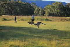 Hopping (iorus and bela) Tags: grampians victoria australia australie camping roadtrip iorus bela 2019 december kangaroo emoe trees