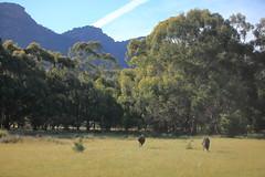 Emoe (iorus and bela) Tags: grampians victoria australia australie camping roadtrip iorus bela 2019 december kangaroo emoe trees