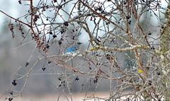Mountain Bluebird in Ontario (Frame To Frame - Bob and Jean) Tags: mountain bluebird bird blue ontario canada january 2020 winter migratory wildlife wilderness buckthorn berries