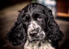 11_1 (KRR_3) Tags: sony a6000 nex sel50f18 dog puppy archie ess englishspringerspaniel dof