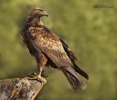 Águila real (Aquila chrysaetos) (leoncio.hernandezrodriguez) Tags: águilarealaquilachrysaetos cuenca castillalamancha españa