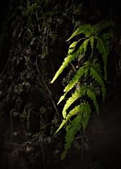 the fern (2) (SM Tham) Tags: asia southeastasia malaysia perak ipoh tambun thelostworldoftambun limestonehills karst geologicalformations fern plant spores cliff rock