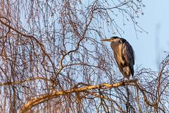 Trädsittande gråhäger. (Anders Öquist) Tags: fåglar gråhäger solna uppland sverige