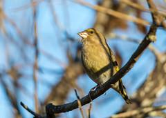 Grönfink i solen. (Anders Öquist) Tags: fåglar grönfink solna uppland sverige