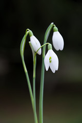 Snowdrops (Jez22) Tags: jeremysage photography winter spring green nature flower snowdrop white floral flora bloom color outdoor growth freshness galanthus wildflower perennial springtime copyright england nivalis galanthusnivalis