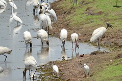 Wood Storks and Egrets near Caño Negro Wildlife Refuge (Frame To Frame - Bob and Jean) Tags: caño negro wildlife refuge costa rica central america birding birds wilderness river wetland wetlands frio outdoors original photographer great egrets wood storks snowy egret stork northern jacana