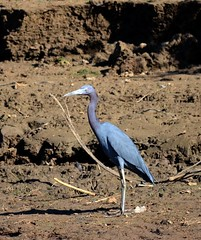 Little Blue Heron in Caño Negro Wildlife Refuge (Frame To Frame - Bob and Jean) Tags: caño negro wildlife refuge costa rica central america birding birds wilderness river wetland wetlands frio outdoors original photographer little blue heron