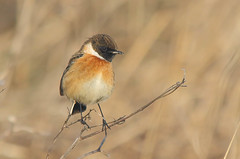 Stonechat (male) (badger2028) Tags: stonechat male