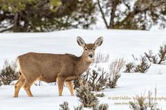Friend Or Foe ? (TNWA Photography (Debbie Tubridy)) Tags: winter snow colorado wildlife deer muledeer wild natural activity behavior habitat survival alert foraging