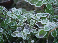 Morning frost (seenbynick) Tags: frosty plant garden winter leaves patterns sunshine nature outdoors macro heskethparksouthport