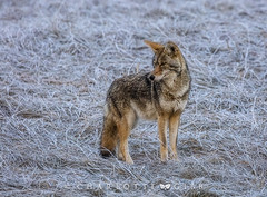 The Trickster (Charlotte Hamilton Gibb) Tags: winter yosemitevalley coyote wildlife animal hunter nature