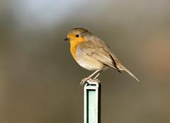Robin (Baractus) Tags: earlswood warwickshire uk robin john oates lakes european