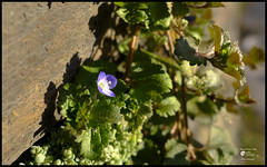 Veronica d'inverno (Enrico Moser #busy#on/off#) Tags: trentino winter inverno invierno flora flowers fiori flores floraspontanea