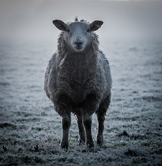 Friend or foe (Matthew Johnson1) Tags: mist field sheep watching curious concerned cold animal frost portrait outdoors farm