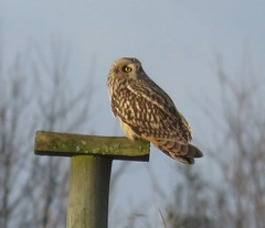 Distant Short Eared Owl (brianwaller703) Tags: short eared owl
