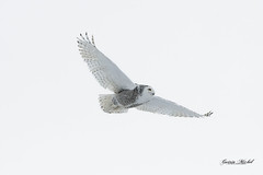 Harfang des neiges - Snowy Owl - Bubo scandiacus (MichelGuérin) Tags: 2020 birds buboscandiacus coc canada clubdesornithologuesdechâteauguay harfangdesneiges lightroomcc michelguerin michelguérin nature nikkor200500mmf56eedvr nikon nikonafsnikkor200500mmf56eedvr nikond500 oiseaux qc québec saintbarthélemy snowyowl