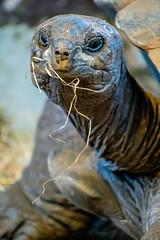 Aldabra Tortoise (nickym6274) Tags: twycrosszoo twycross zoo atherstone leicestershire uk animal aldabratortoise tortoise nikond7500 nikon70300