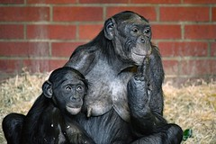 Bonobo (nickym6274) Tags: twycrosszoo twycross zoo atherstone leicestershire uk animal bonobo monkey mumandbaby baby nikond7500 nikon70300