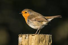 Robin (Maria-H) Tags: robin erithacusrubecula glossop highpeak derbyshire uk olympus omdem1markii panasonic 100400