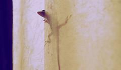 Peeking anole (Anna Peterson) Tags: pentax vivitarseries12890mm vivitar pentaxk3 manualfocus vintagelens lizard