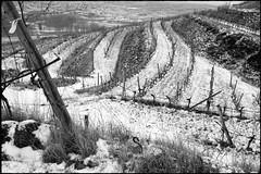 Zöbing (Harald Reichmann) Tags: zöbing heiligenstein landschaft weinbau winter schnee weinstock terrasse kamp