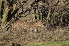 Muntjac (Prank F) Tags: stanwicklakes rockinghamforesttrust wildlife nature deer muntjac bird
