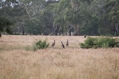 AUS_2005-Film-10-10 (charlesvanlangeveld) Tags: kangaroo aireysinlet victoria australia natuur dieren