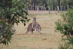 AUS_2005-Film-10-12 (charlesvanlangeveld) Tags: kangaroo aireysinlet victoria australia natuur dieren