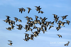 Barnacle Geese (Branta leucopsis) (gcampbellphoto) Tags: barnacle branta leucopsis bird nature wildlife gcampbellphoto donegal malin head irish geese wildlfowl irishwildlife skein flight bif