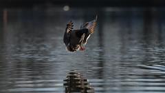 Mallard landing (3/5) (PChamaeleoMH) Tags: birds ducks clapham claphamcommon london flight landing mallards mountpond